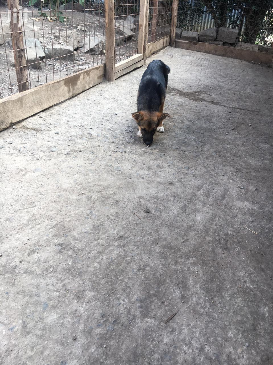 Archive: 3-6 month Male Mixed Breed German Shepherd