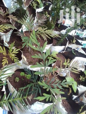 Grevillea Robusta/ Silky Oak/ Mukima Seedlings | Feeds, Supplements & Seeds for sale in Kajiado, Ngong