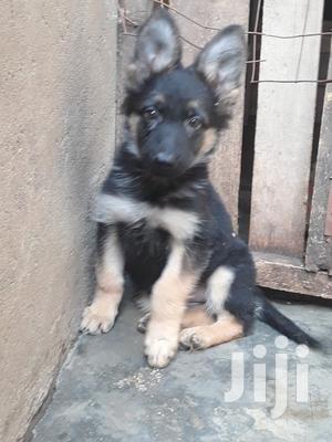 1-3 Month Female Purebred German Shepherd | Dogs & Puppies for sale in Nairobi, Ruai