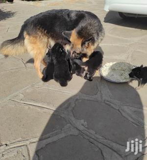 3-6 Month Female Purebred German Shepherd | Dogs & Puppies for sale in Nakuru, Nakuru Town East