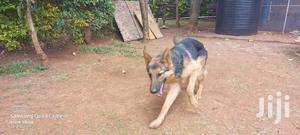 1+ Year Female Purebred German Shepherd   Dogs & Puppies for sale in Kesses, Racecourse