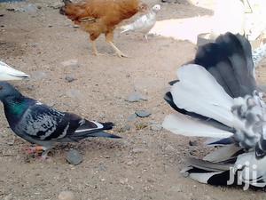 Racing Homer | Birds for sale in Kajiado, Kitengela