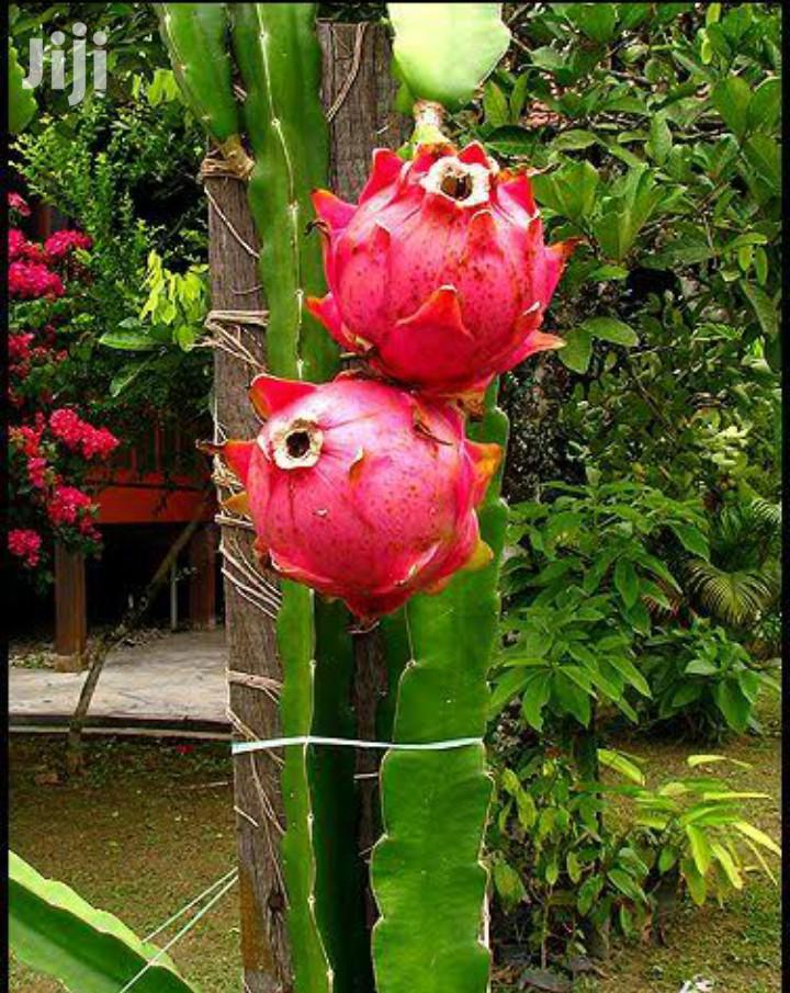 Dragon Fruit Cactus | Garden for sale in Lavington, Nairobi, Kenya
