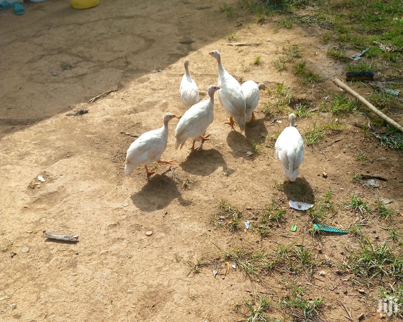 Archive: White Pure Guinea Fowls(Kanga)