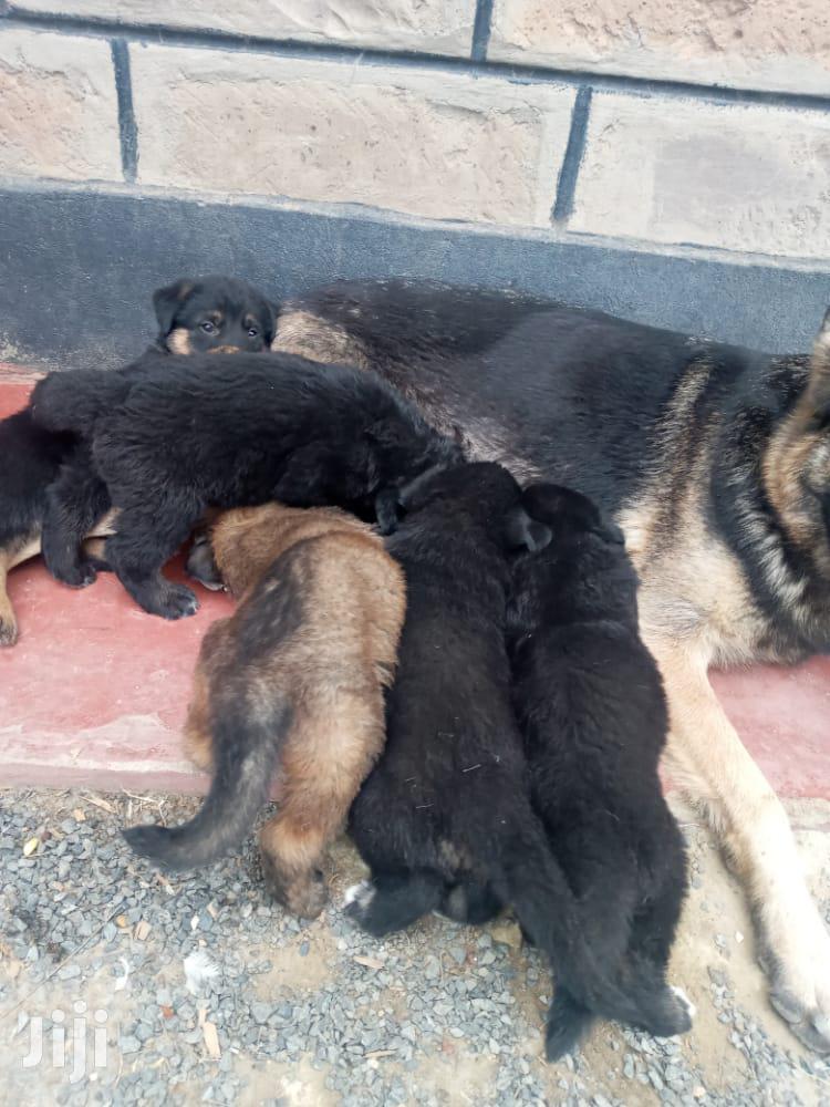 Archive: 1-3 Month Female Purebred German Shepherd