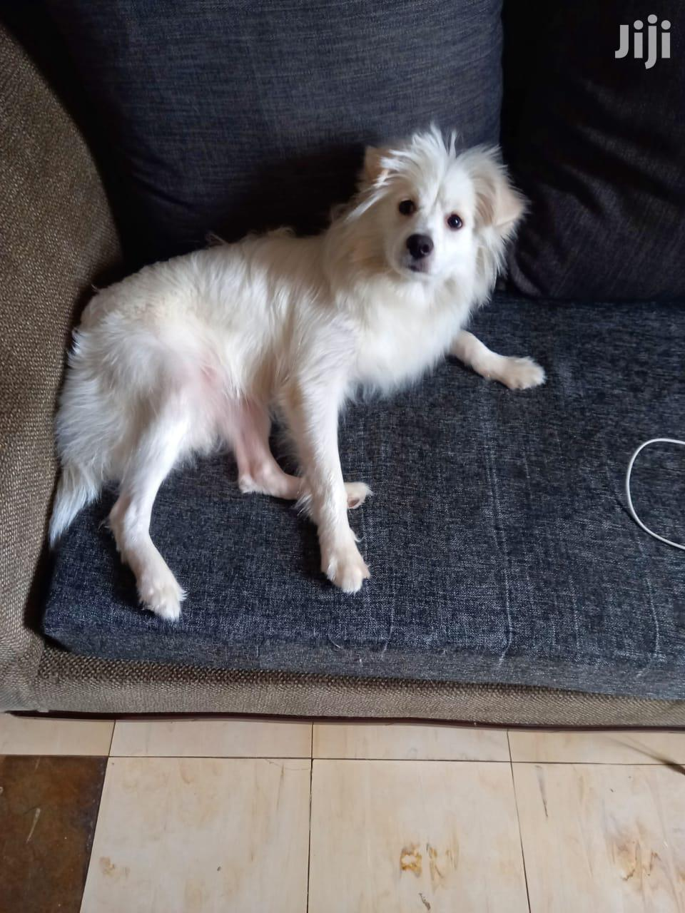 Archive: 6-12 Month Male Mixed Breed Japanese Spitz