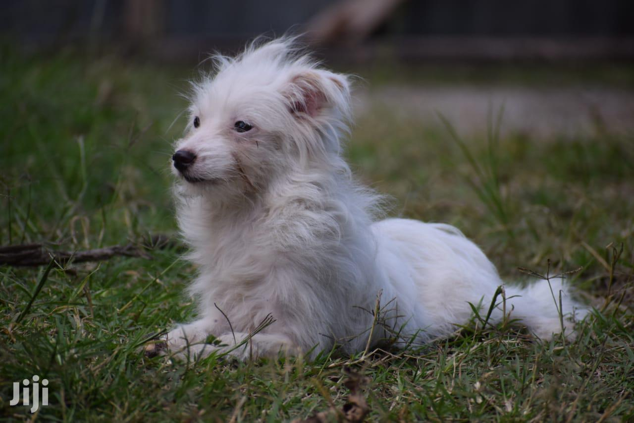 0-1 month Male Mixed Breed Japanese Spitz | Dogs & Puppies for sale in West Kisumu, Kisumu, Kenya