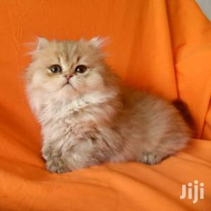 3-6 month Male Purebred Persian   Cats & Kittens for sale in Mombasa, Tudor