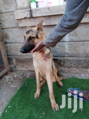 6-12 Month Male Purebred German Shepherd | Dogs & Puppies for sale in Nairobi, Kasarani