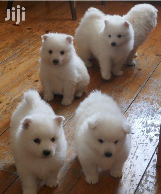 Archive: 3-6 Month Male Purebred Japanese Spitz