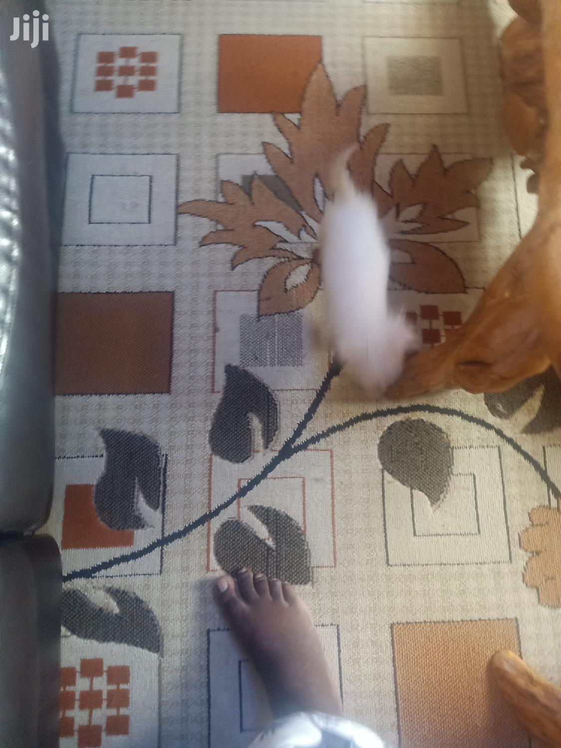 3-6 month Female Mixed Breed Maltese | Dogs & Puppies for sale in Nairobi Central, Nairobi, Kenya