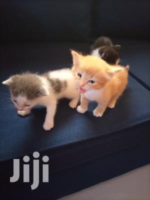 1-3 Month Female Purebred American Shorthair | Cats & Kittens for sale in Nairobi, Komarock