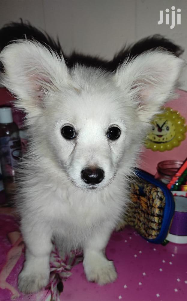 Archive: 3-6 month Female Purebred Japanese Spitz