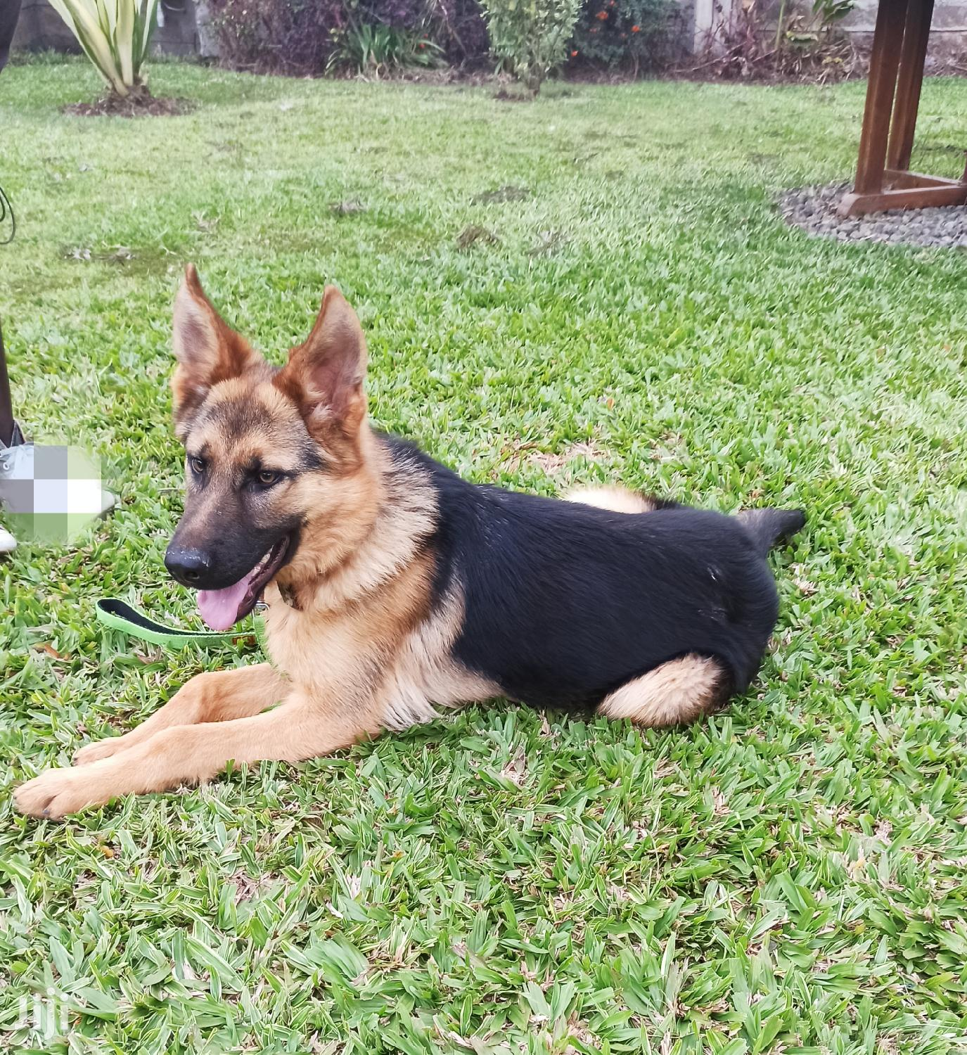 6-12 Month Male Purebred German Shepherd