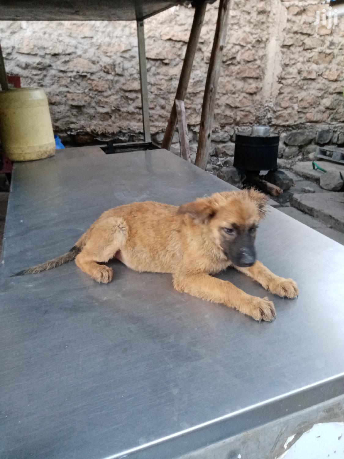 1-3 month Female Purebred German Shepherd | Dogs & Puppies for sale in Embakasi, Nairobi, Kenya