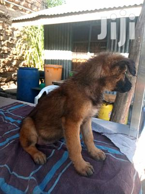 1-3 Month Male Purebred Belgian Malinois   Dogs & Puppies for sale in Nairobi, Nairobi Central