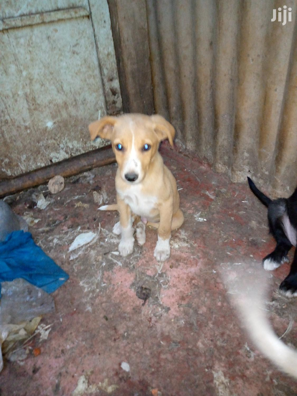 1-3 Month Male Purebred Japanese Spitz | Dogs & Puppies for sale in Embakasi, Nairobi, Kenya