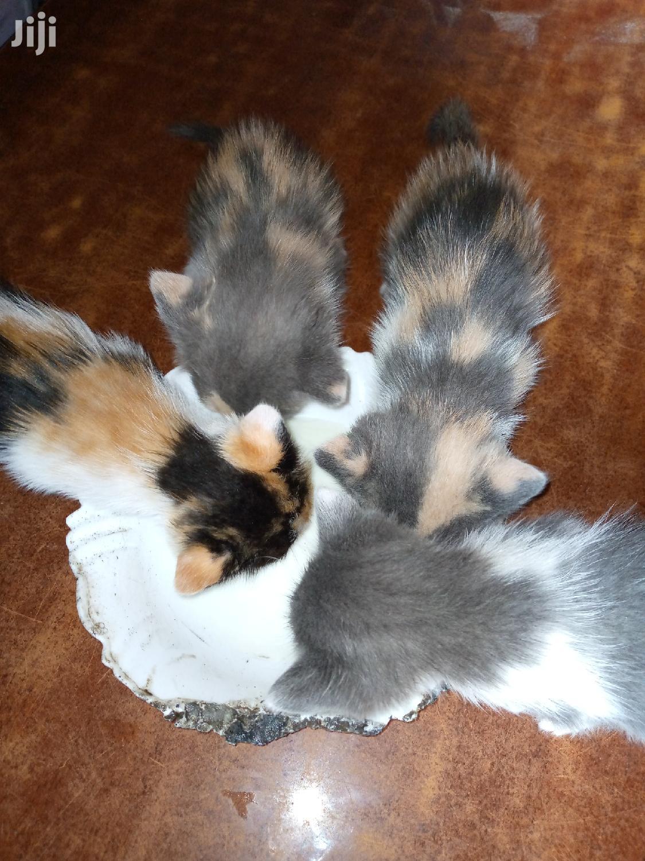 1-3 month Female Mixed Breed Mongrel (No Breed)   Cats & Kittens for sale in Embakasi, Nairobi, Kenya