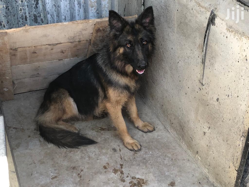 6-12 Month Female Purebred German Shepherd | Dogs & Puppies for sale in Naivasha East, Nakuru, Kenya
