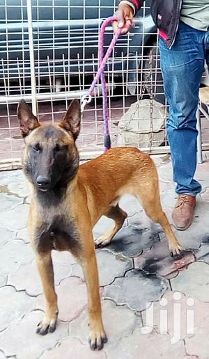 1+ Year Male Purebred Belgian Malinois   Dogs & Puppies for sale in Nairobi, Embakasi