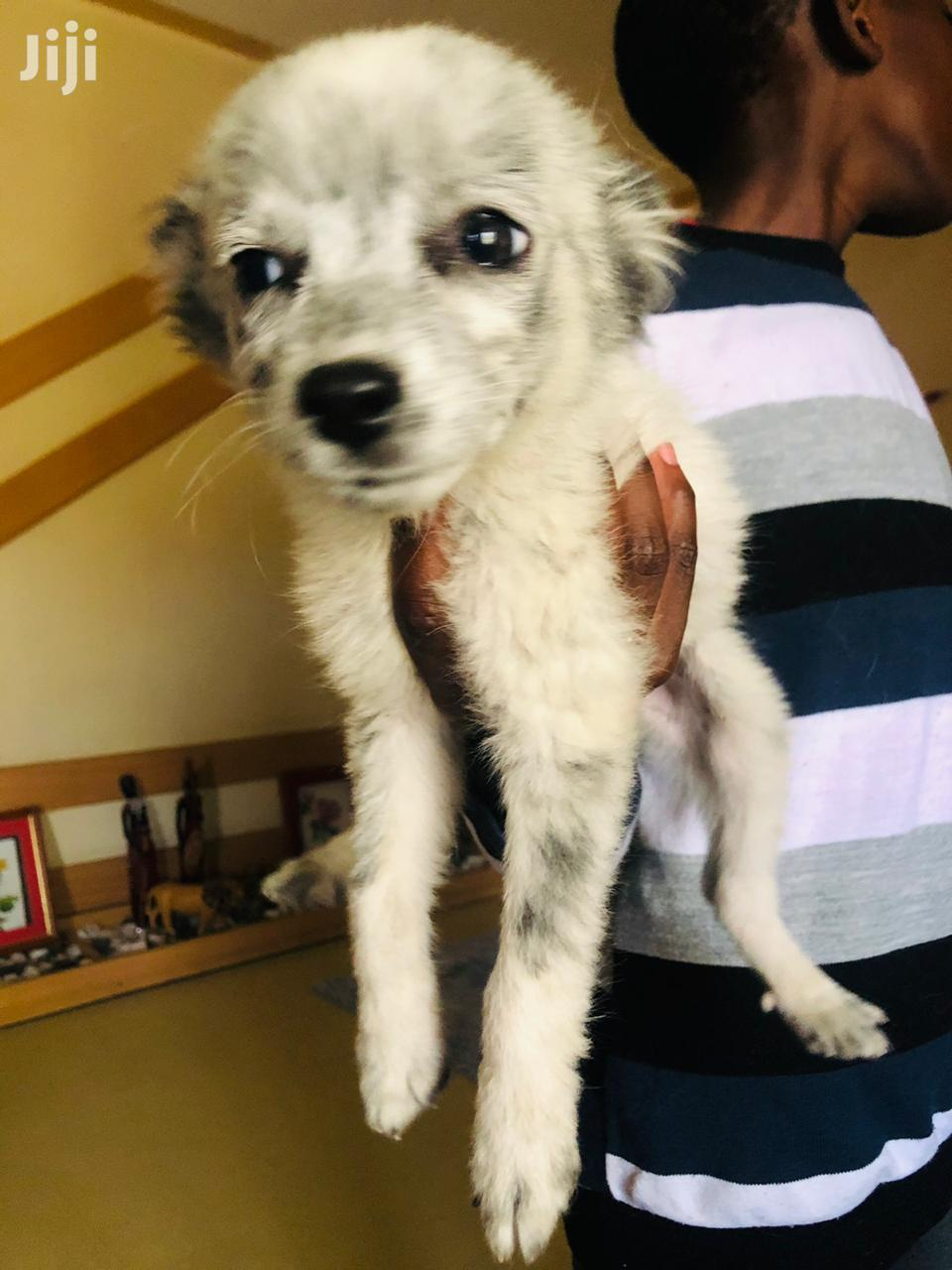 Archive: 3-6 month Male Mixed Breed Japanese Spitz