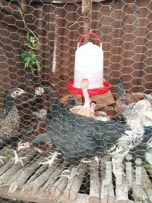 4 Months Old Kienyeji Chicks | Livestock & Poultry for sale in Nairobi, Kibra