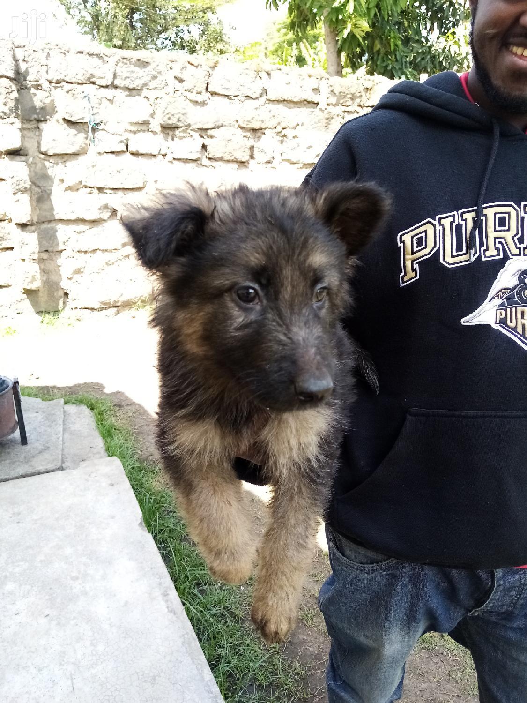 1-3 Month Female Purebred German Shepherd | Dogs & Puppies for sale in Nakuru East, Nakuru, Kenya