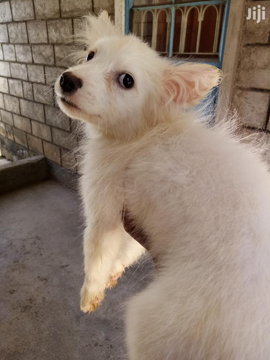 3-6 month Male Purebred Japanese Spitz