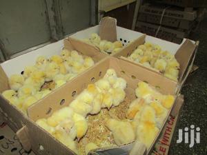 Day Old Jogoo Chicks (Cockerels) | Livestock & Poultry for sale in Nairobi, Nairobi Central