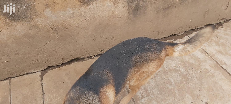 1+ Year Male Purebred German Shepherd   Dogs & Puppies for sale in Thika, Kiambu, Kenya