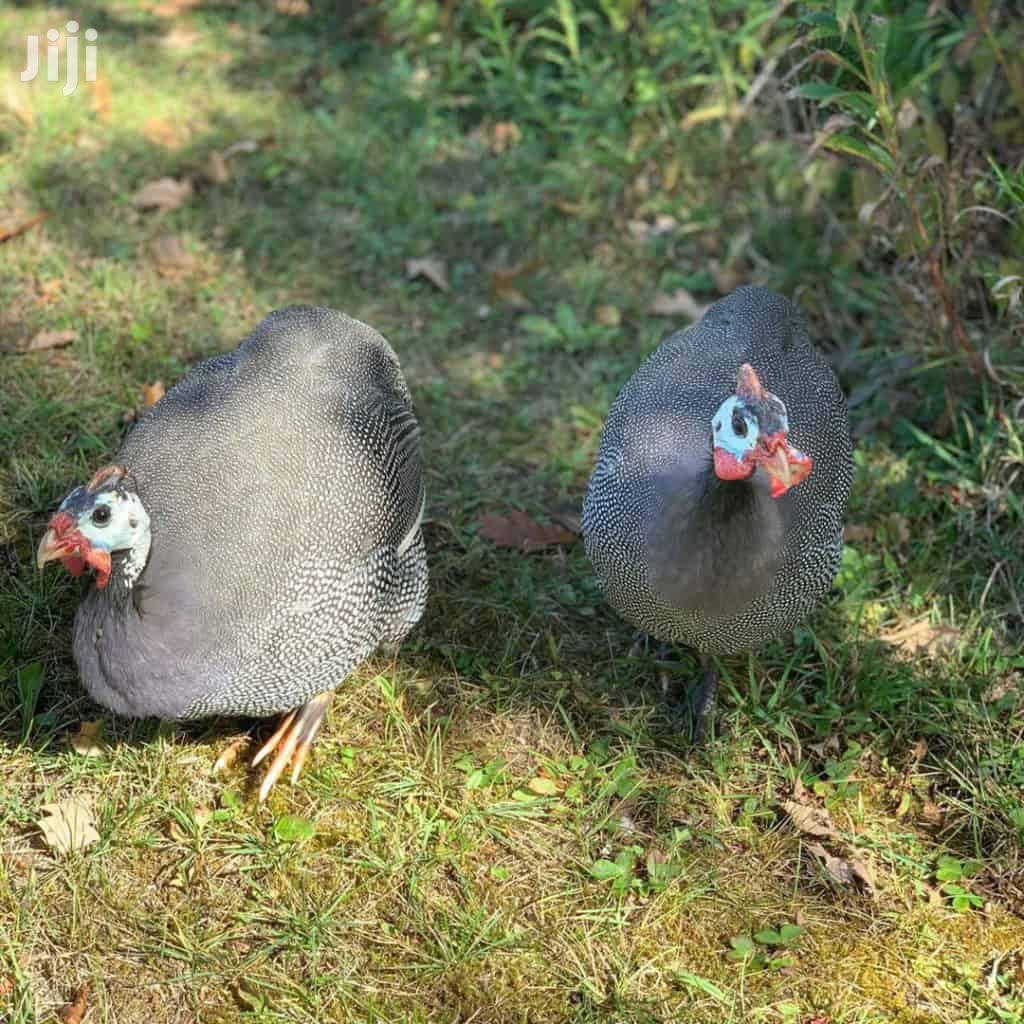 Archive: Guinea Fowl (Mature Males And Laying Females) Keets Availabl