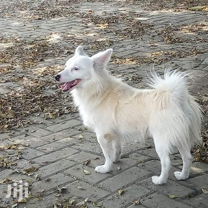 Archive: 1+ Year Male Mixed Breed Japanese Spitz