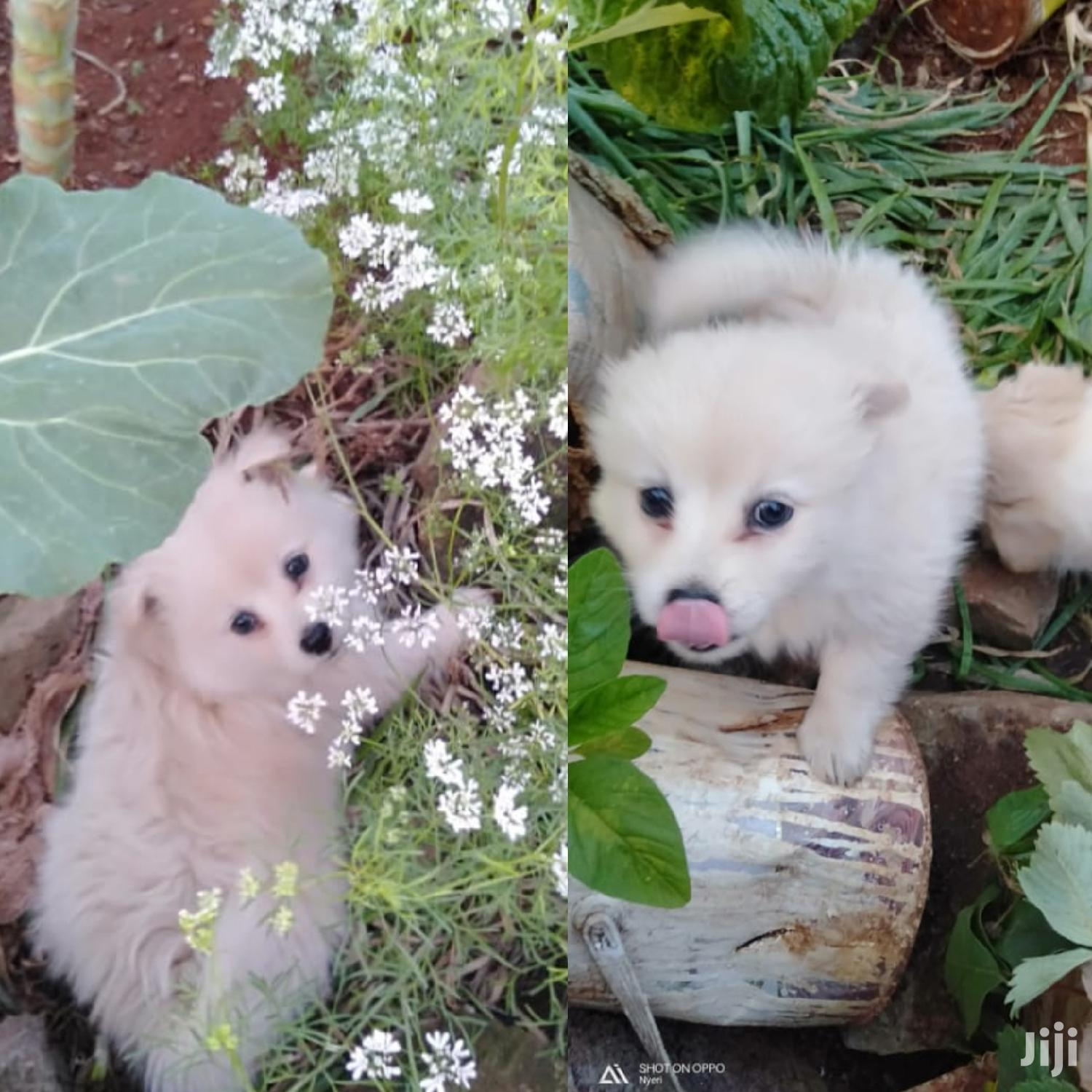 1-3 Month Male Mixed Breed Japanese Spitz | Dogs & Puppies for sale in Juja, Kiambu, Kenya