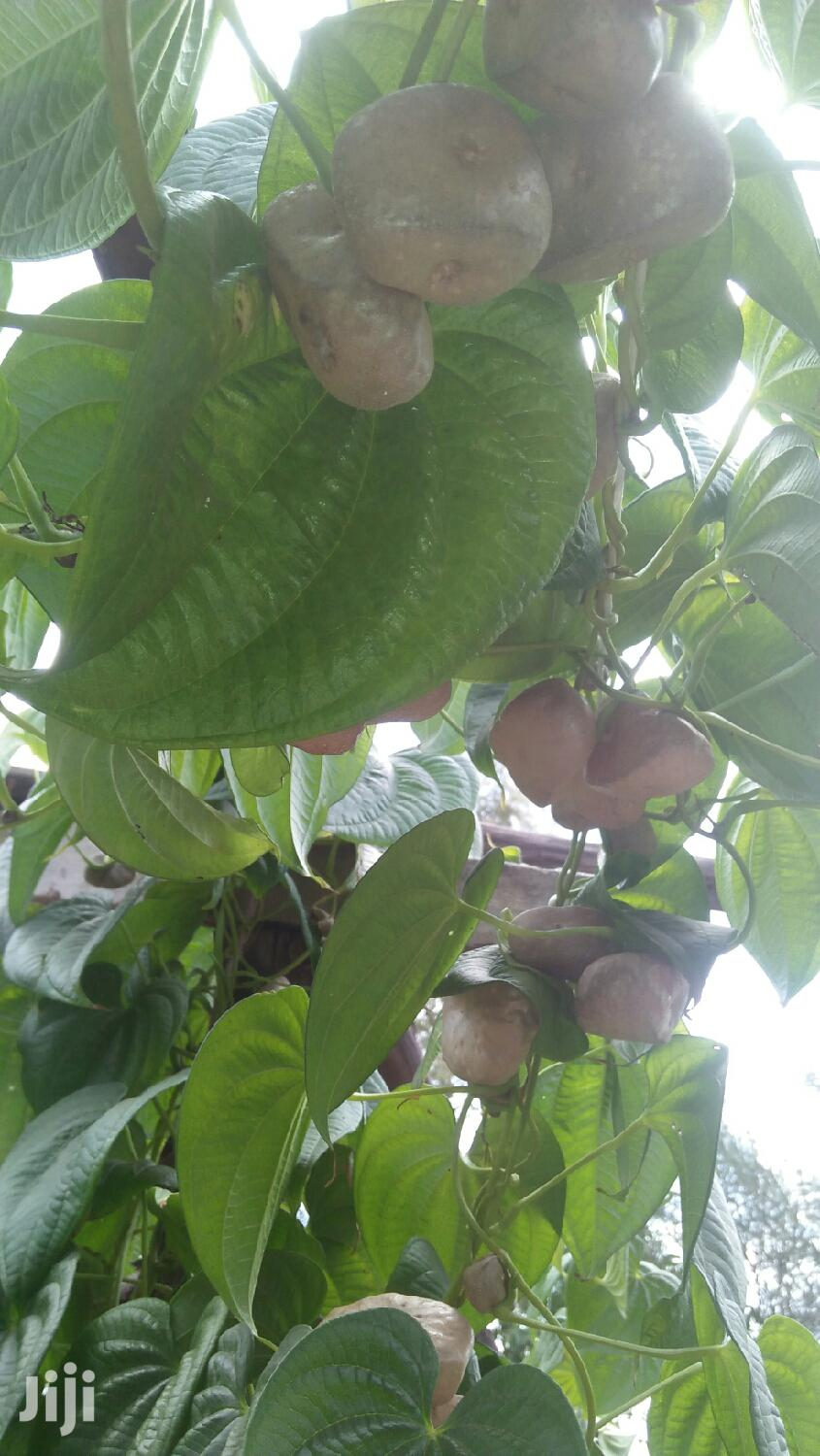 Archive: Yams Aerial Seed Tubers