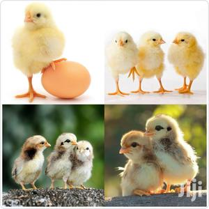 One Day Old Quality Vaccinated Kienyeji Chicks | Livestock & Poultry for sale in Kirinyaga, Kerugoya