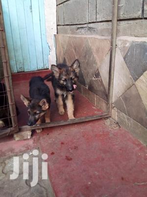1-3 Month Male Purebred German Shepherd   Dogs & Puppies for sale in Nakuru, Nakuru Town East
