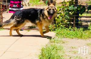6-12 Month Male Purebred German Shepherd | Dogs & Puppies for sale in Nairobi, Langata