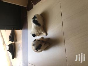 1-3 Month Male Purebred Japanese Spitz | Dogs & Puppies for sale in Nairobi, Kasarani