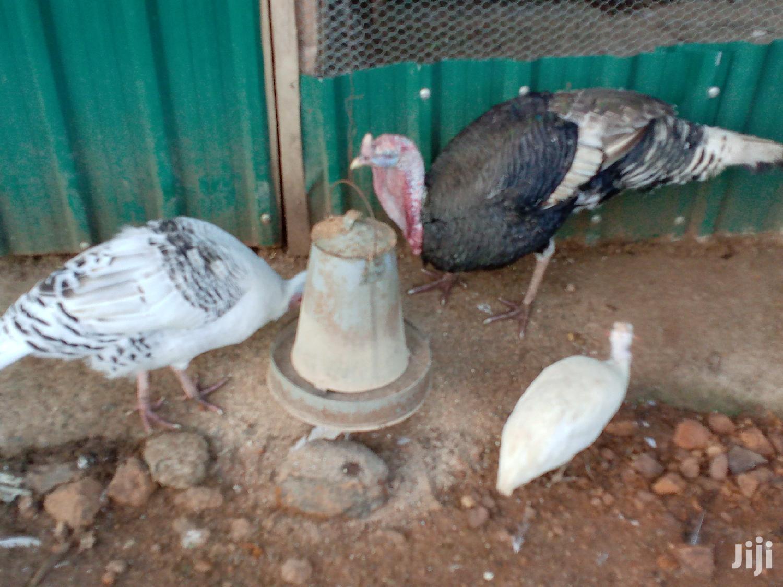 Pure White Guinea Fowls Mature Pair