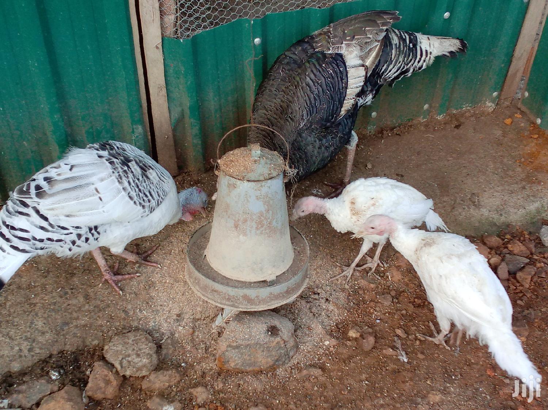 Pure White Guinea Fowls Mature Pair   Livestock & Poultry for sale in Kisumu Central, Kisumu, Kenya