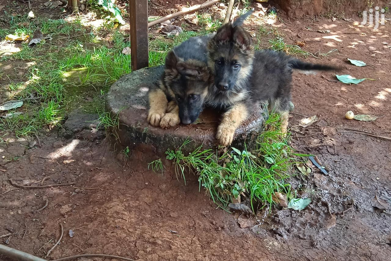 3-6 Month Female Purebred German Shepherd | Dogs & Puppies for sale in Kabete, Kiambu, Kenya