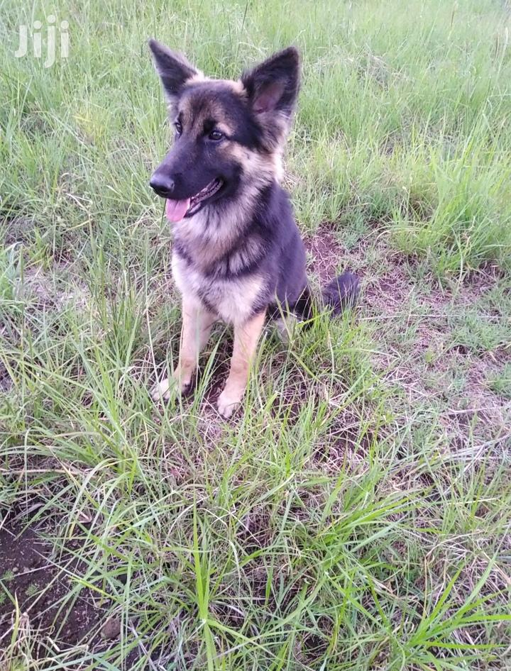 Archive: 6-12 month Female Purebred German Shepherd