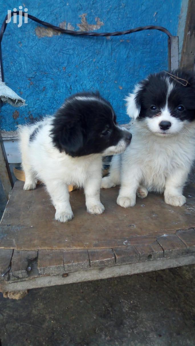 1-3 Month Male Purebred Japanese Spitz   Dogs & Puppies for sale in Ziwani/Kariokor, Nairobi, Kenya