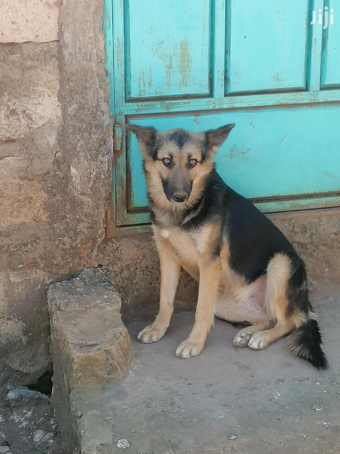 Archive: 6-12 Month Female Purebred German Shepherd
