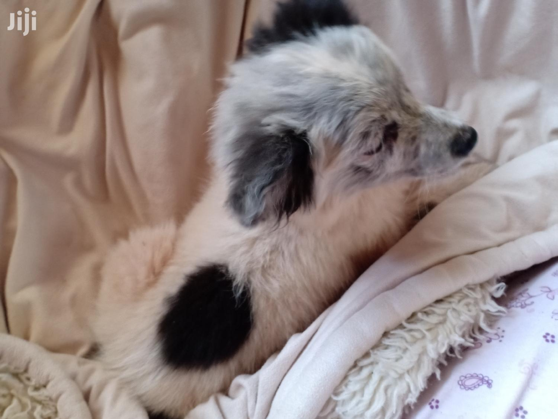 6-12 Month Female Mixed Breed Japanese Spitz