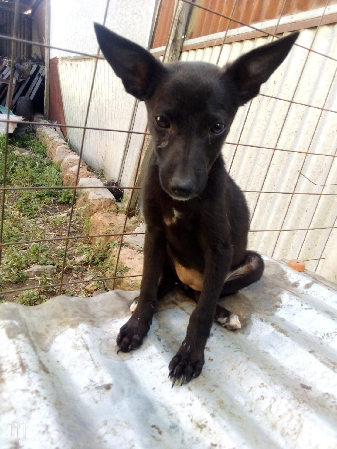 Archive: 1-3 Month Female Mixed Breed German Shepherd