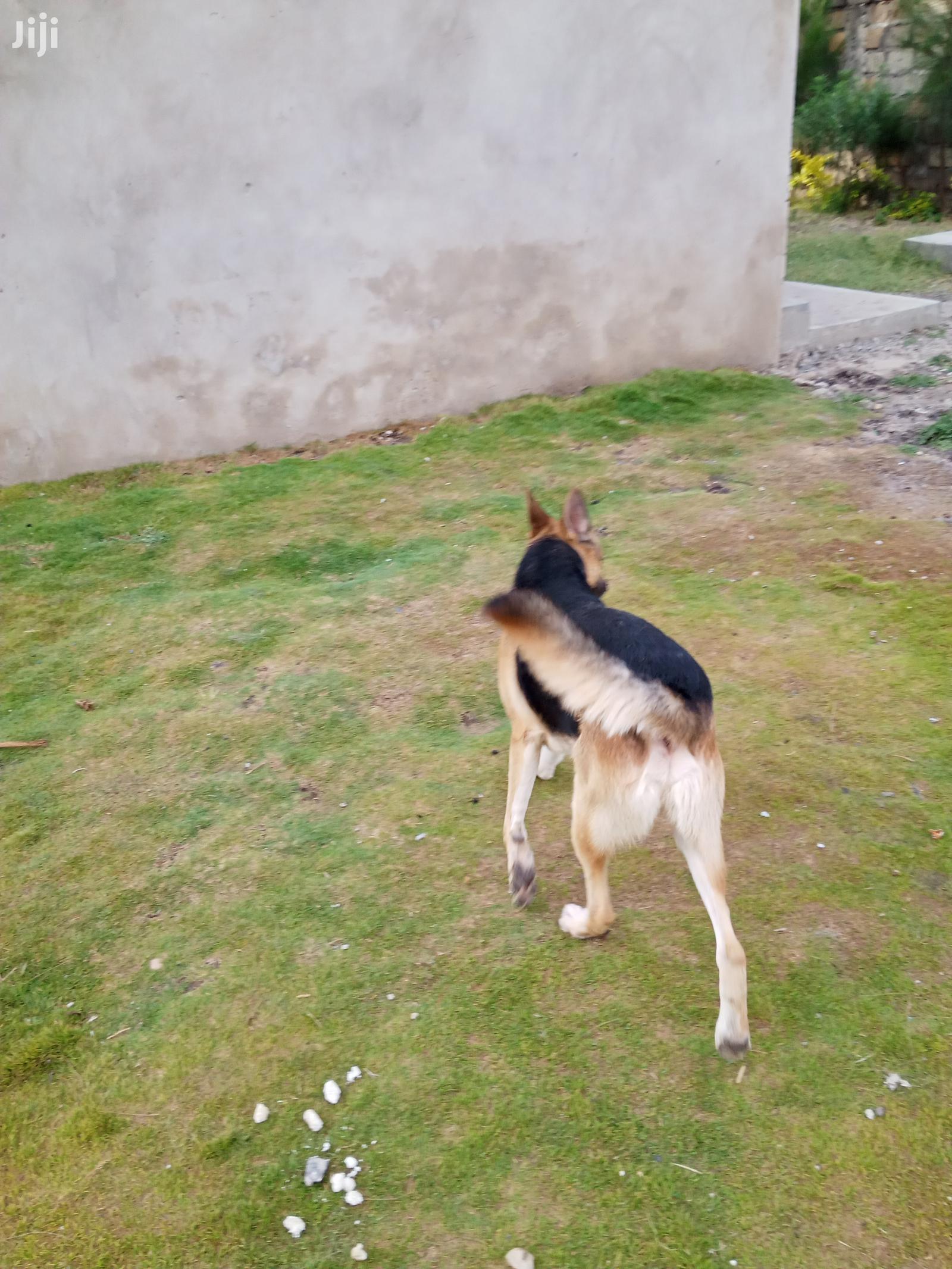 1+ Year Male Purebred German Shepherd