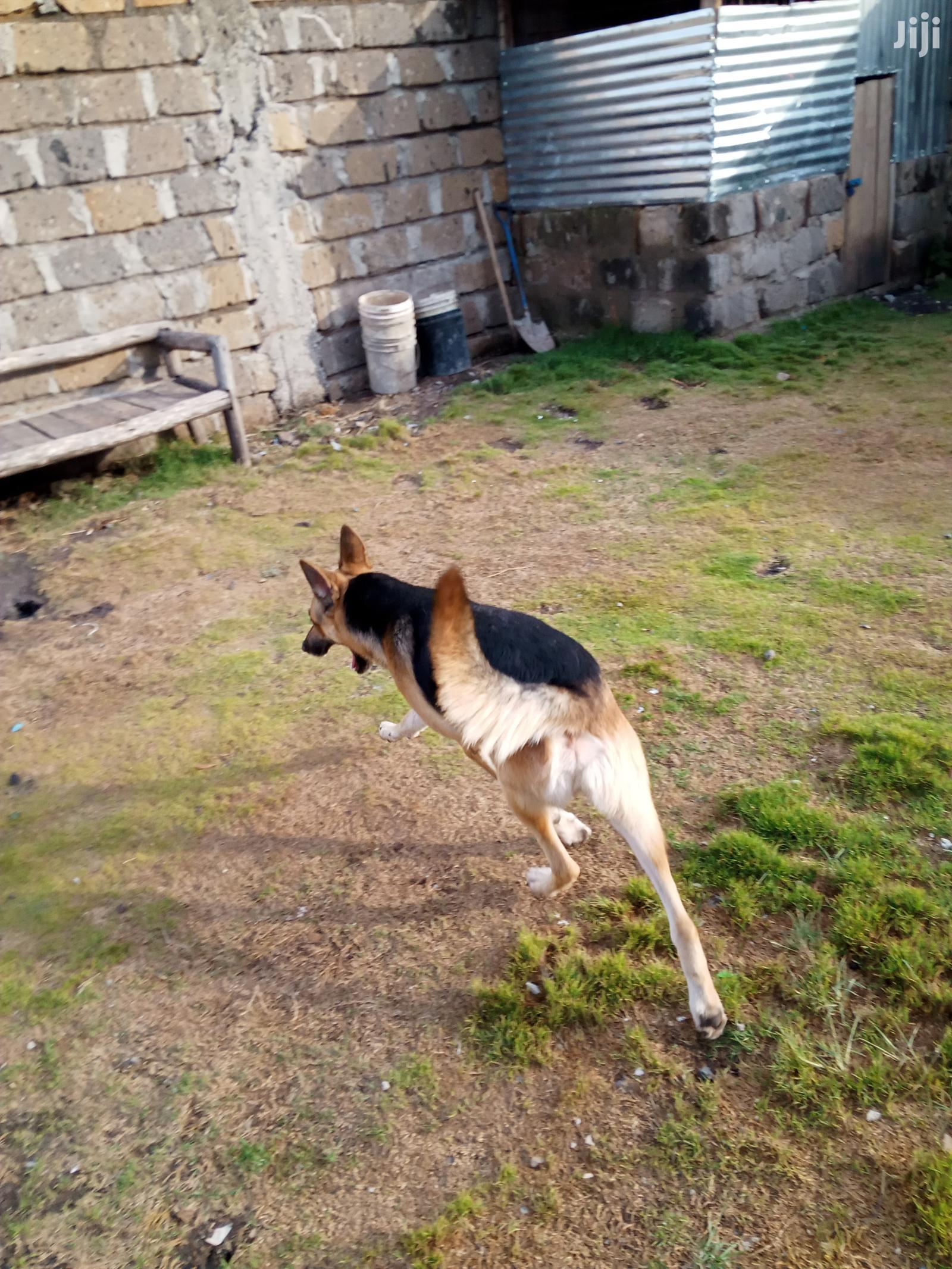 1+ Year Male Purebred German Shepherd | Dogs & Puppies for sale in Nairobi Central, Nairobi, Kenya