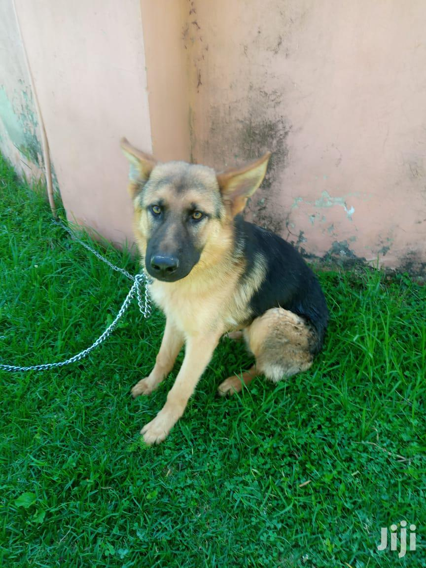 6-12 Month Male Purebred German Shepherd | Dogs & Puppies for sale in Nairobi Central, Nairobi, Kenya