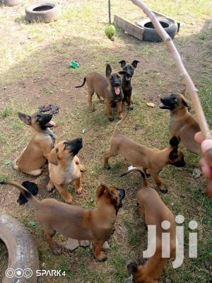 1-3 Month Female Purebred Belgian Malinois   Dogs & Puppies for sale in Nairobi, Nairobi Central